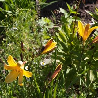 Hemerocallis dumortieri - tuvdaglilja