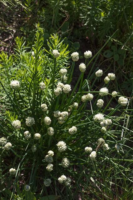 Allium schoenoprasum 'Album'