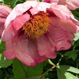Paeonia x Lemonei 'Madame Louis Henry' - buskpion