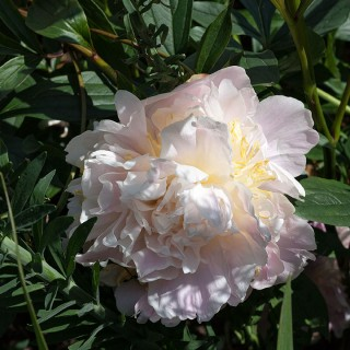 Paeonia lactiflora 'James Pillow' - luktpion