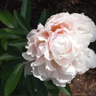 Paeonia lactiflora 'Candy Heart' - luktpion