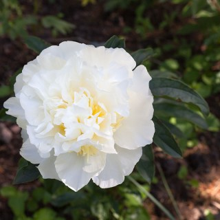 Paeonia lactiflora 'Honey Gold' - luktpion