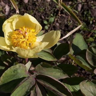 Paeonia mlokosewitchii- svavelpion