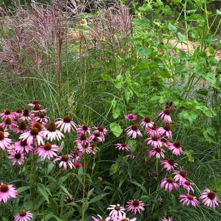 Echinacea purpurea - solhatt