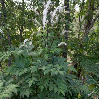 Actaea simplex, höstsilverax