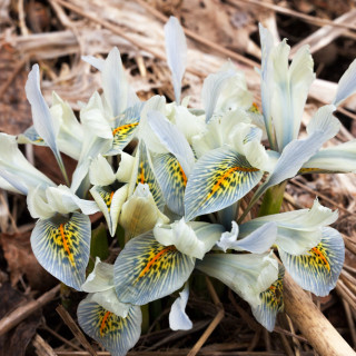Iris Reticulata-grp 'Frank Elder'
