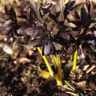 Helleborus x hybridus 'Slate Blue'