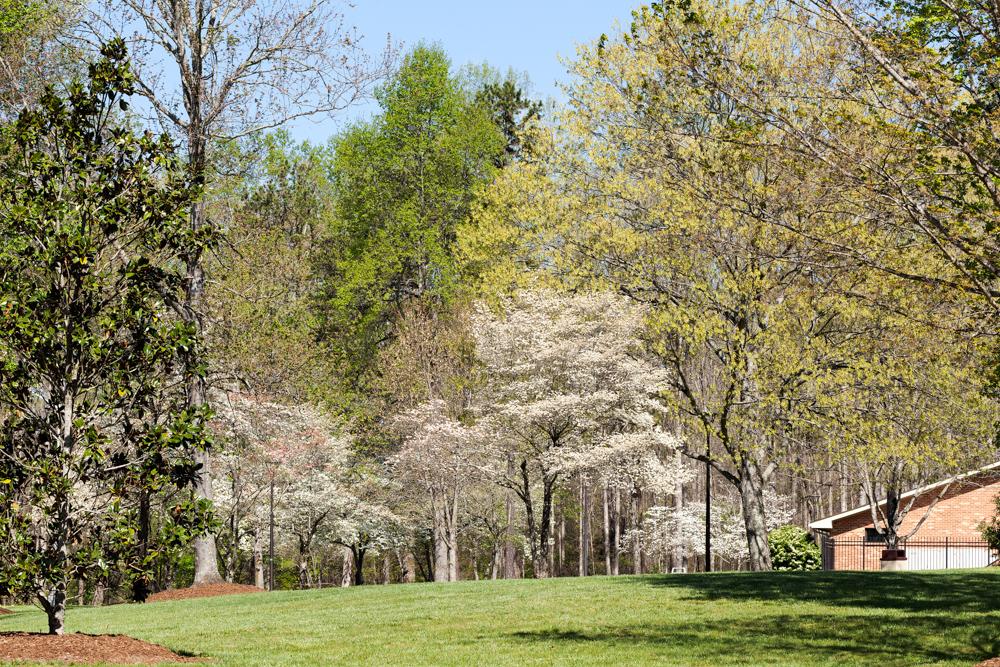 Försommargrönt, snövitt och blå wisteriafall