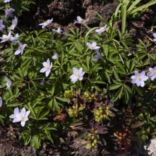 Anemone nemorosa 'Lismore Blue'