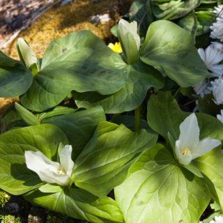 Trillium albidum - vitt jättetreblad