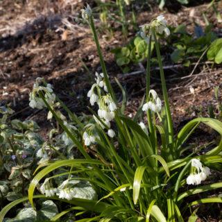 Allium paradoxum v. normale - snödroppslök