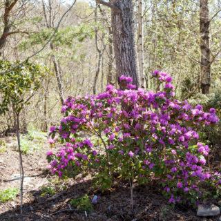 Aspcirkeln - Rhododendron 'PJM'