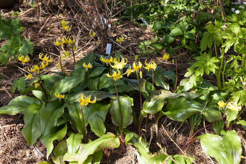 Vårligt grönt - Erythronium 'Pagoda'