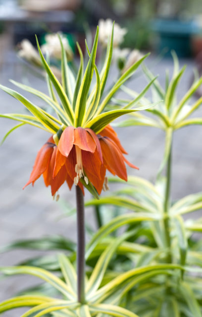 Fritillaria imperialis 'Aureomarginata'