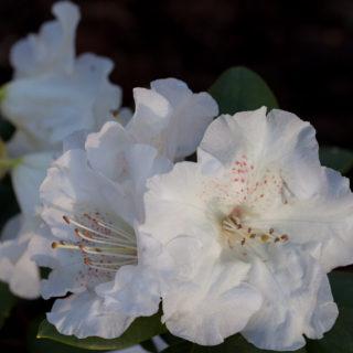 vårfavorit - Rhododendron Williamsianum-grp 'Gartendirektor Rieger'