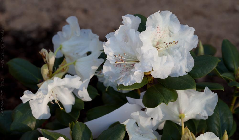 vårfavorit - Rhododendron 'Gartendirektor Rieger'