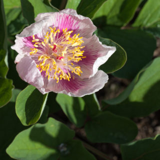 Paeonia mlokosewitchii seedraised