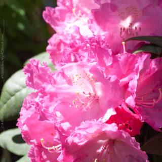 Rhododendron Yakushimanum-grp 'Polaris'