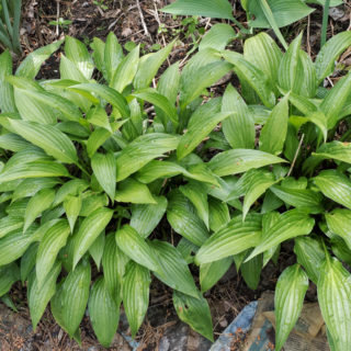 Small Hosta 'Leather Sheen'