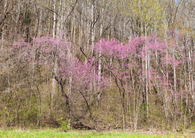 Önskemål - Cercis canadensis 'Forest Pansy'