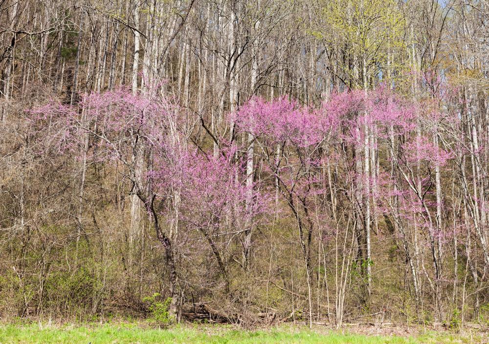 Önskelista - Cercis canadensis 'Forest Pansy'