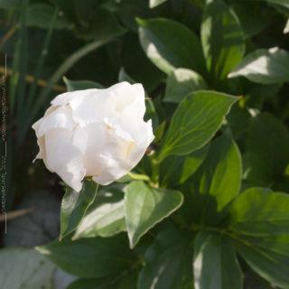 Paeonia lactiflora 'Jan van Leuween'