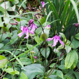 Clematis Integrifolia-grp 'Floris Vijf'