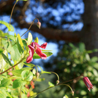 Clematis texensis-grp 'Etoile Rose'