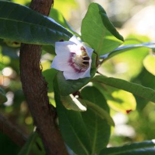 Codonopsis-clematidea, Porslinsklocka