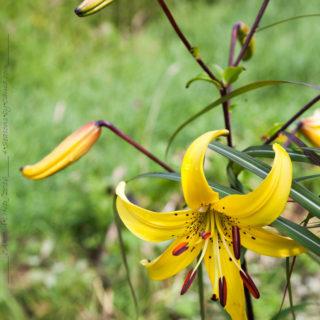 Gul tigerlilja - Lilium lancifolium v flaviflorum