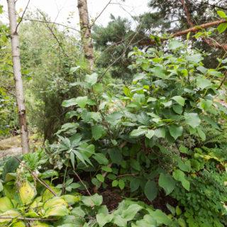 Kvarteret Magnolian - Magnolia sieboldii - buskmagnolia