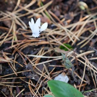 Cyclamen hederifolium 'Album' - höstcyklamen