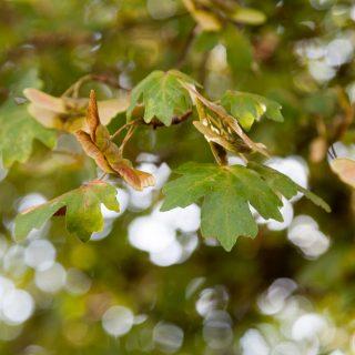 Acer campestre - naverlönn
