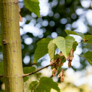 Acer insulare