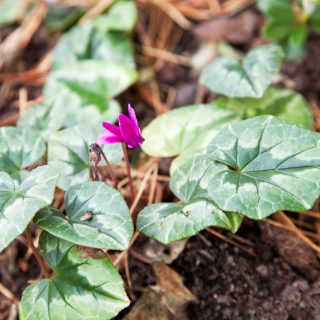 Cyclamen hederifolium 'Red Sky' - höstcyclamen