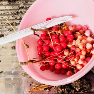 rönnbär - sorbus