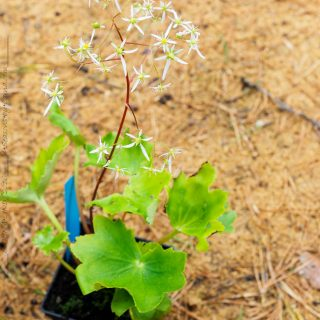 Saxifraga fortunei - stor höstbräcka