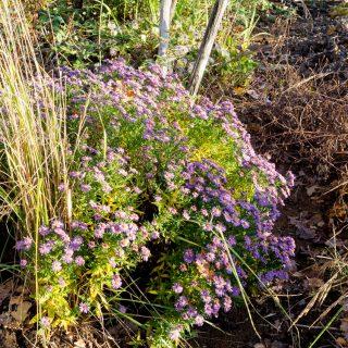 Höstfärger - Namnlös aster ev Aster amellus kultivar