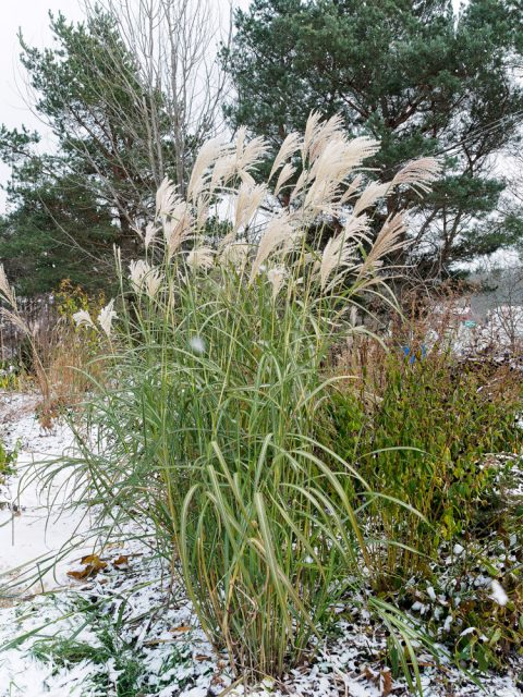 Miscanthus sinensis 'Rotsilbe'