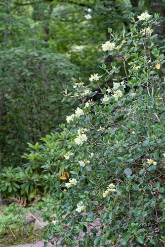 en vacker art, guldrododendron, Rhododendron wardii, som växer i sluttningen i den naturliga delen längs japandalen