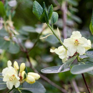 Ljusgul - Rhododendron wardii
