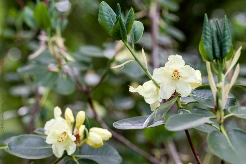 Vackra blad och smörgula blommor med en röd fläck - den vanligaste typen av guldrododendron