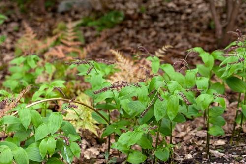 Rara växter huvudsakligen från Kina längs vägen - Maianthemum atropurpureum i Göteborgs botaniska trädgård