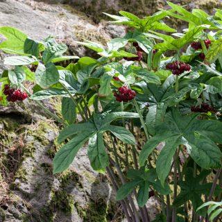 Läckraste fotbladet - Podophyllum pleianthum