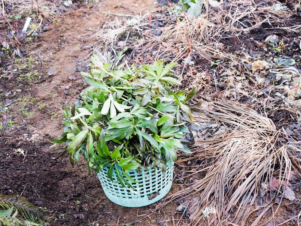 Helleborus blad, vinterklippning