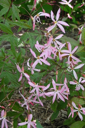Gillenia trifoliata 'Pink Profusion'