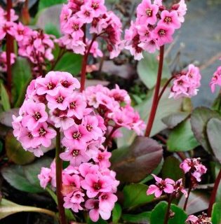 Bergenia 'Pink Dragonfly'