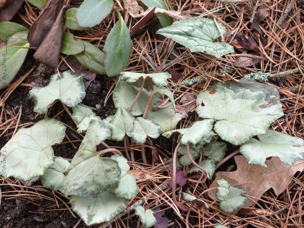 Cyclamen hederifolium 'Silver Leaf'