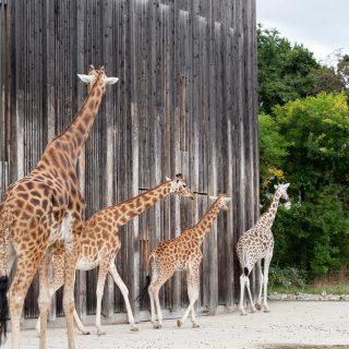 Giraffer gjorde mig betagen