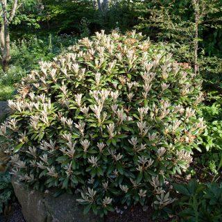 Grusgården - Rhododendron yakushimanum 'Koichiro Wada' - praktrododendron
